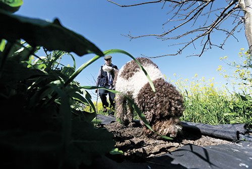 SNIFFING FOR DIAMONDS. A man follows his Italian water dog Rico while hunting for truffles at the Robert Sinskey Vineyards Truffle Orchard in Napa, California. Inset: a pasta dish with shaved truffles.  (AP)