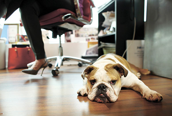 DOG AT WORK. A bulldog sits under the desk of her owner, the CEO of a small business in Florida who believes pets improve the quality of their work life, boosting morale and easing tension for staffers. (AP PHOTO)
