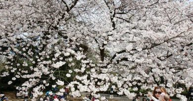Cherry blossoms reach full bloom in Tokyo